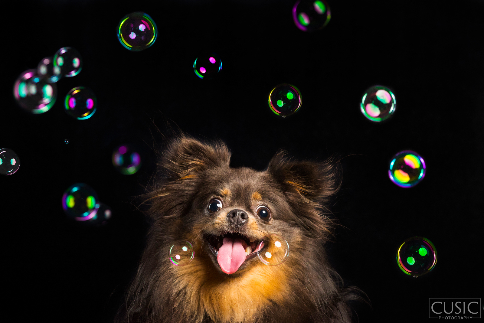 pomeranian with bubbles